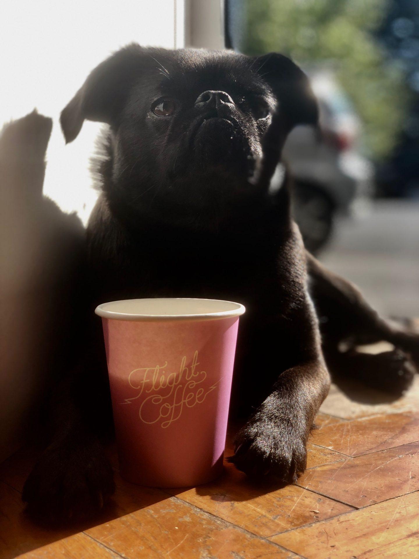 pug with coffee cup