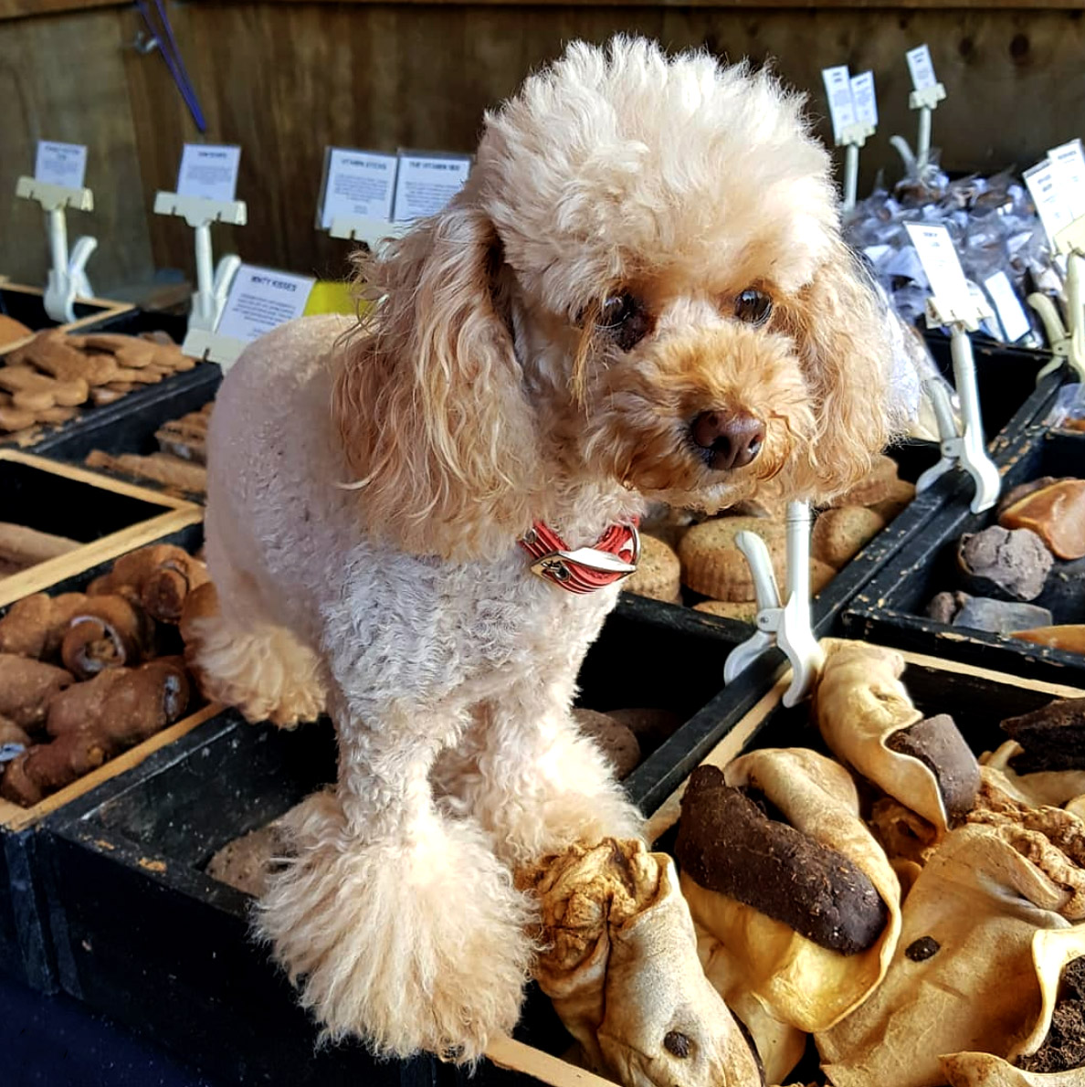 poodle at dog treat stand at market
